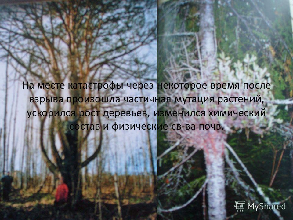 На месте катастрофы через некоторое время после взрыва произошла частичная мутация растений, ускорился рост деревьев, изменился химический состав и физические св-ва почв.