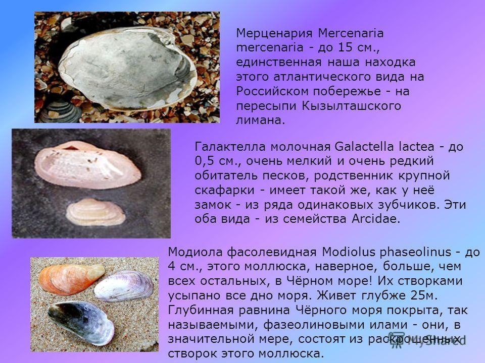 Лорипес светлый Loripes lucinalis - до 1,2 см., когда-то, массовый вид песчаных грунтов, теперь стал очень редок. Мактра коралловая Mactra corallina - до 7 см., очень редкий крупный житель песчаного дна. Мия песчаная Mya arenaria - до 10 см., её роди