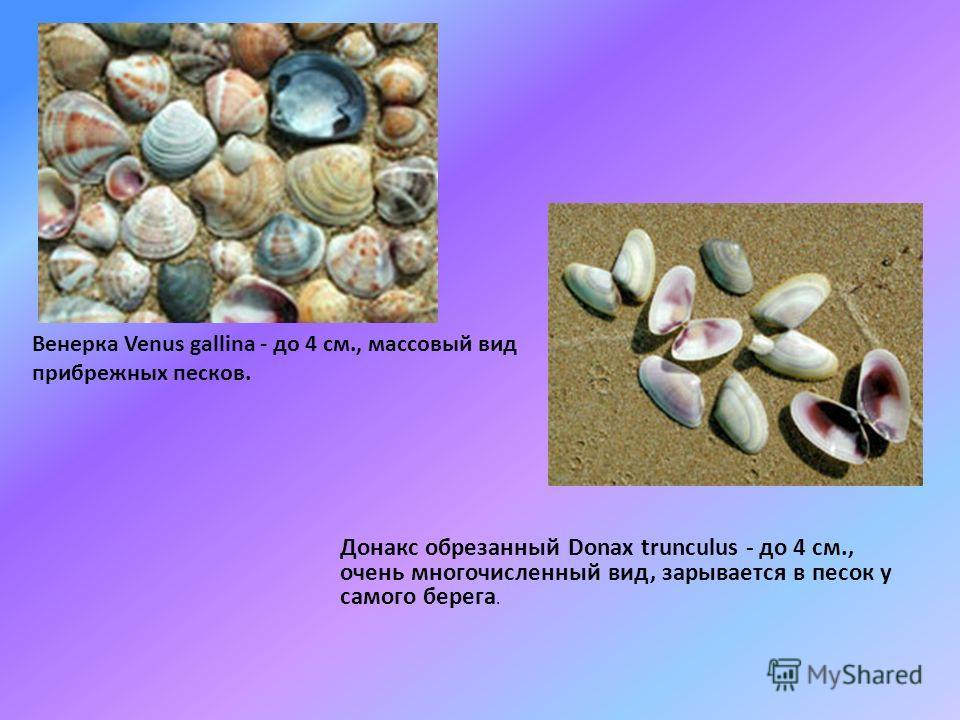 Черноморские ракушки Начинаем знакомство с морем с прогулки по пляжу. Интересно посмотреть, что вынесли волны на песок... Ракушки! Ракушки - это домики двустворчатых или брюхоногих моллюсков (улиток), они строят их сами из солей морской воды. Растет