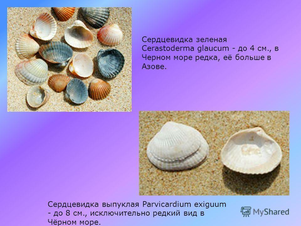 Скафарка неравная Scapharca inaequivalis - до 8 см., Очень древний моллюск, родина - моря Индокитая. В Черном море с 1960х г. Съедобна и вкусна. В настоящее время, вытесняет из донных прибрежных сообществ песка венерку. Сердцевидка съедобная Cerastod