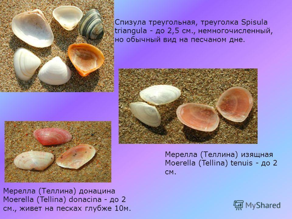 Питар рыжий Pitar rudis - до 2 см., один из главных обитателей песков глубже 10 м. Полититапес Polititapes aurea - до 4 см., стал редким.