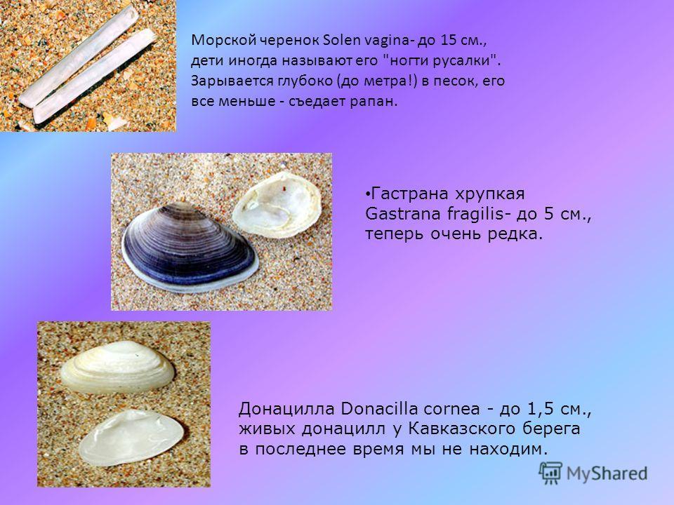 Гульдия малая Gouldia minima - до 0,7 см, живет на песках глубже 10м., ещё в 1980х годах была массовым, доминантным видом донных сообществ на этих глубинах. Сейчас - редка. Люцинелла (светличка) широкая Lucinella divaricata - до 0,5 см., массовый вид