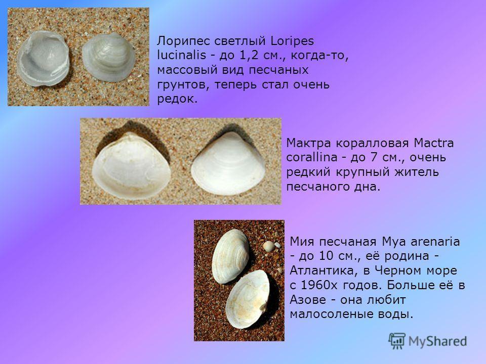 Морской черенок Solen vagina- до 15 см., дети иногда называют его