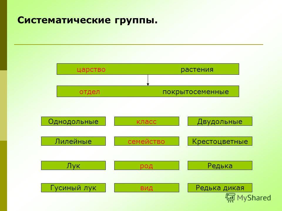 Систематические группы. царство растения отдел покрытосеменные Однодольные Лилейные Лук Гусиный лук класс семейство род вид Двудольные Крестоцветные Редька Редька дикая