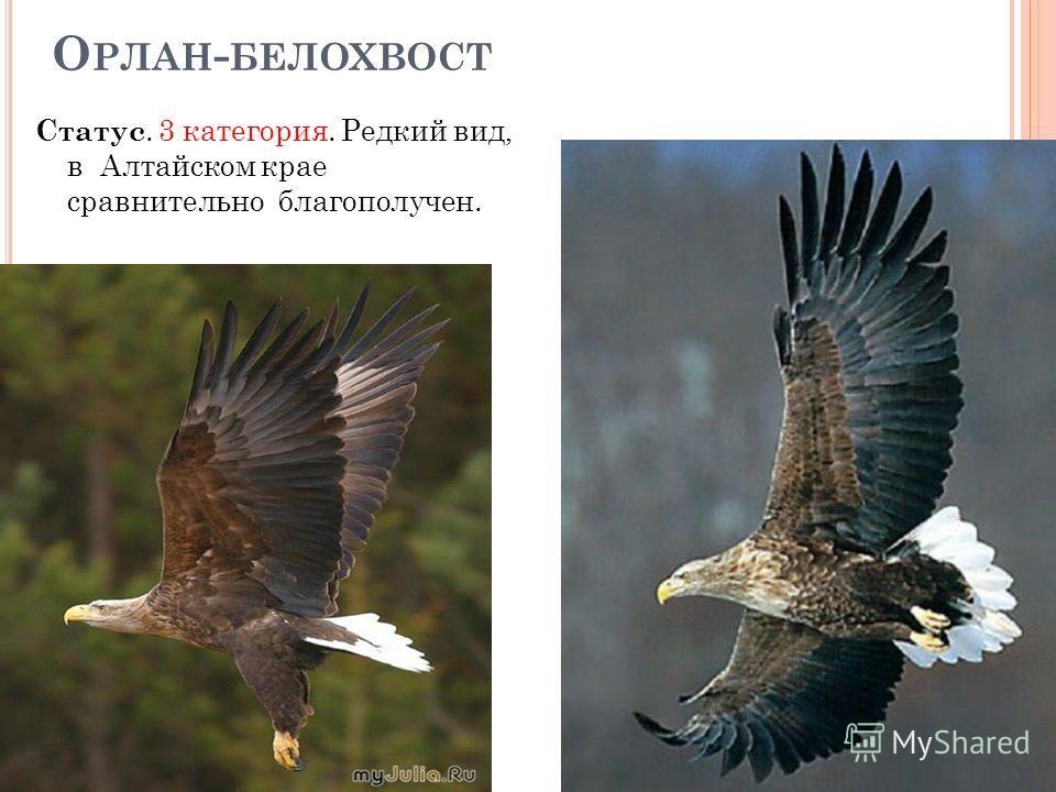 О РЛАН - БЕЛОХВОСТ Статус. 3 категория. Редкий вид, в Алтайском крае сравнительно благополучен.