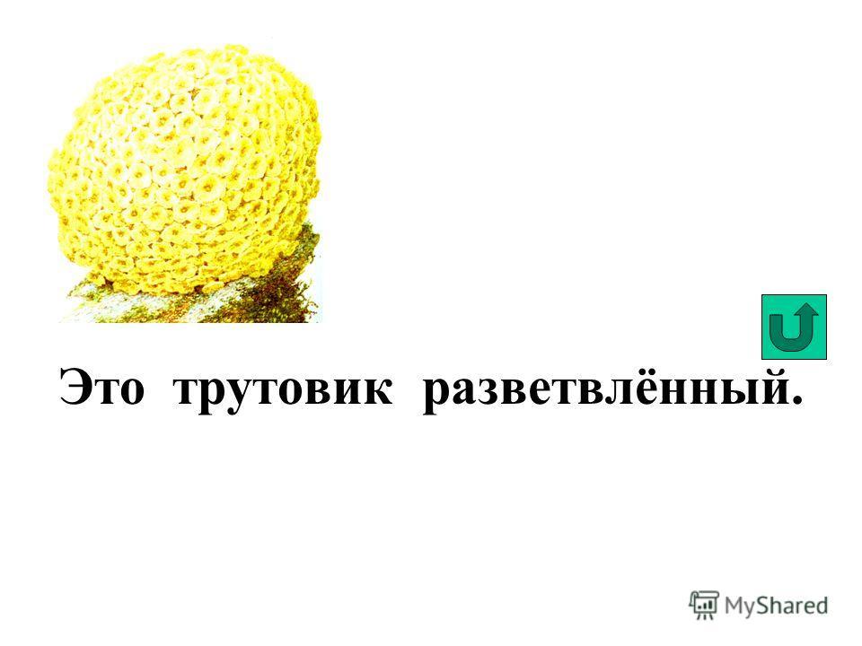Это трутовик листоватый или гриб-баран.