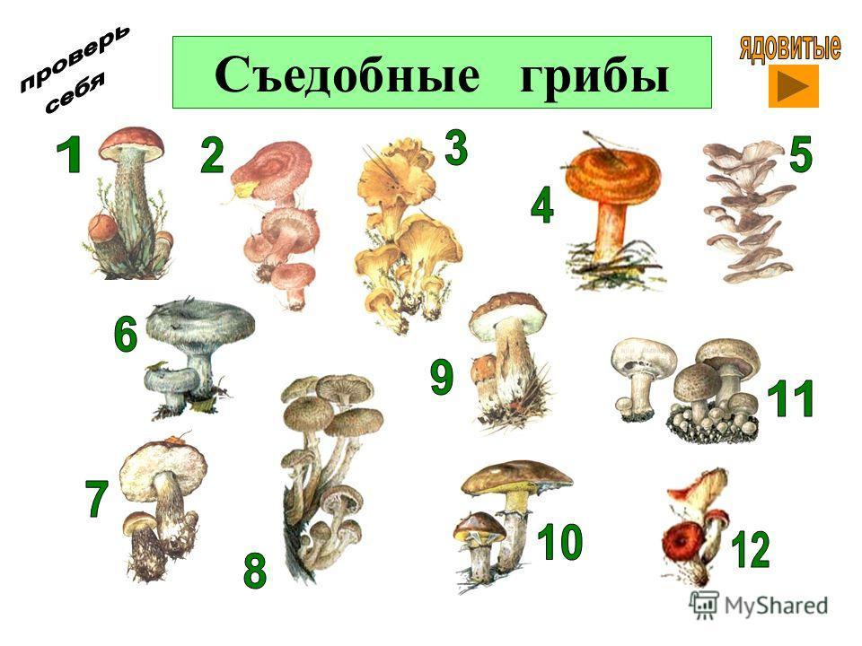 Съедобные грибы с фото и описаниями | Энциклопедия