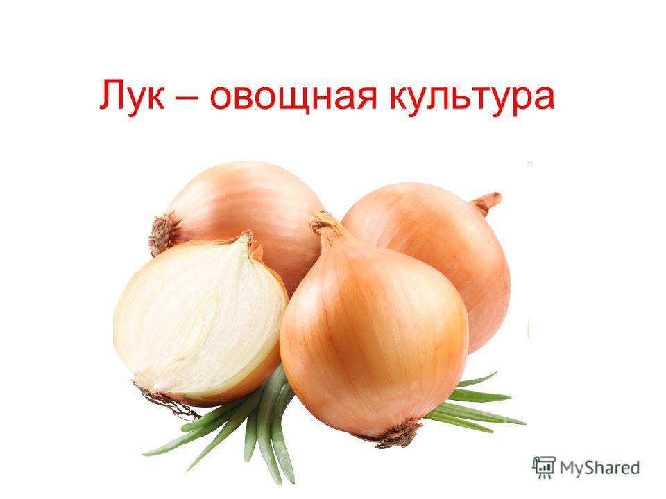 Лук – овощная культура