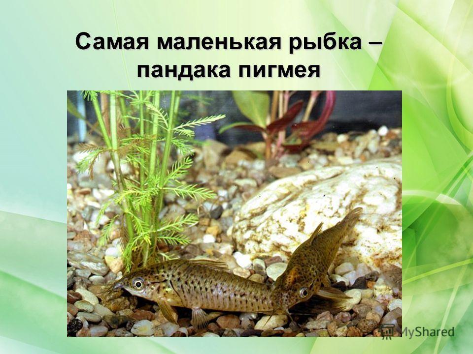 Самая маленькая рыбка – пандака пигмея