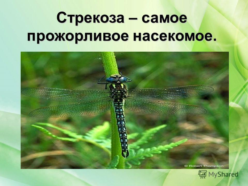 Стрекоза – самое прожорливое насекомое.