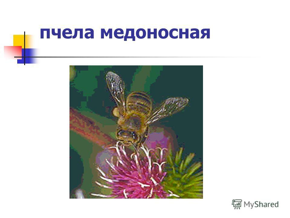 пчела медоносная