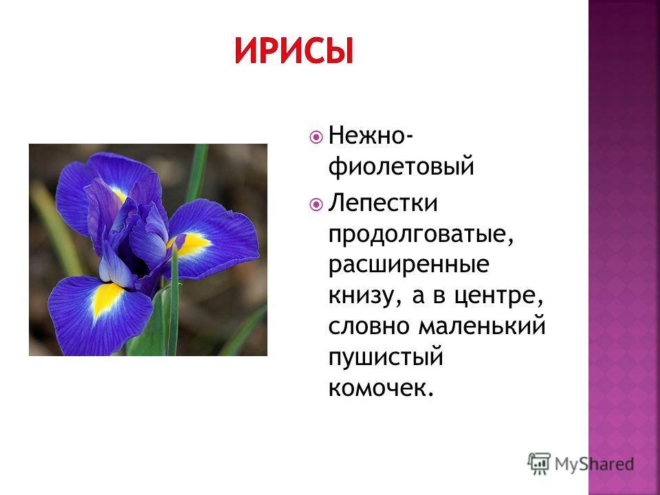Нежно- фиолетовый Лепестки продолговатые, расширенные книзу, а в центре, словно маленький пушистый комочек.