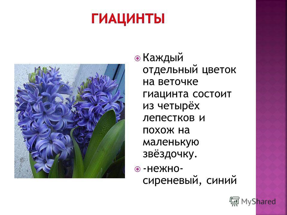 Каждый отдельный цветок на веточке гиацинта состоит из четырёх лепестков и похож на маленькую звёздочку. -нежно- сиреневый, синий