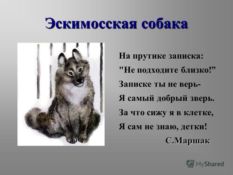 Эскимосская собака На прутике записка: Не подходите близко! Записке ты не верь- Я самый добрый зверь. За что сижу я в клетке, Я сам не знаю, детки!С.Маршак