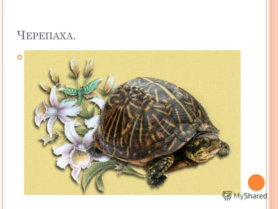 Ч ЕРЕПАХА.