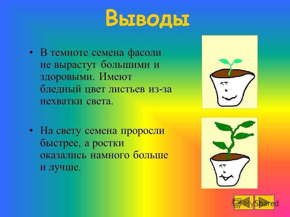 Выводы В темноте семена фасоли не вырастут большими и здоровыми. Имеют бледный цвет листьев из-за нехватки света. На свету семена проросли быстрее, а ростки оказались намного больше и лучше.