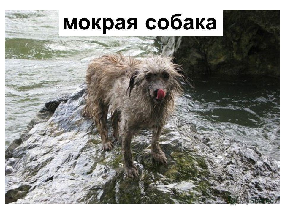 мокрая собака