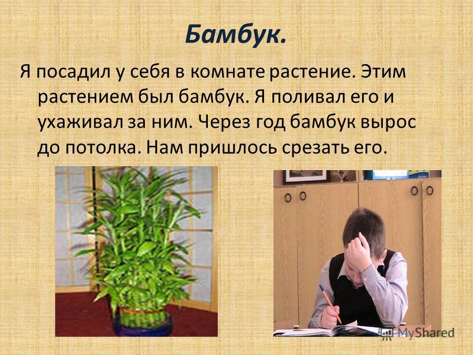 Бамбук. Я посадил у себя в комнате растение. Этим растением был бамбук. Я поливал его и ухаживал за ним. Через год бамбук вырос до потолка. Нам пришлось срезать его.