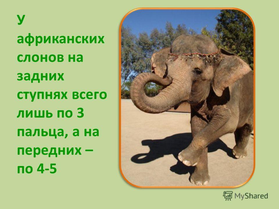 У африканских слонов на задних ступнях всего лишь по 3 пальца, а на передних – по 4-5