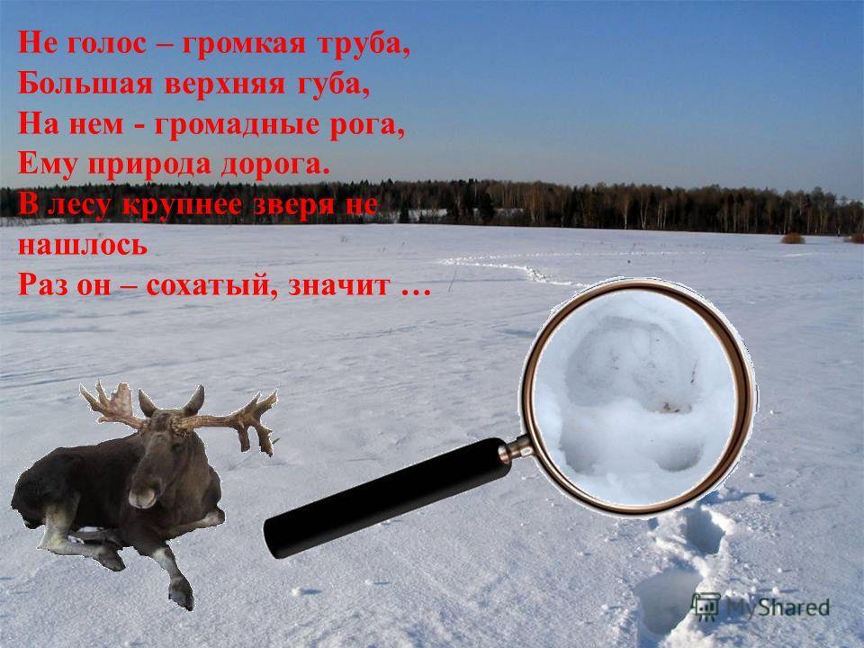 Не голос – громкая труба, Большая верхняя губа, На нем - громадные рога, Ему природа дорога. В лесу крупнее зверя не нашлось Раз он – сохатый, значит …