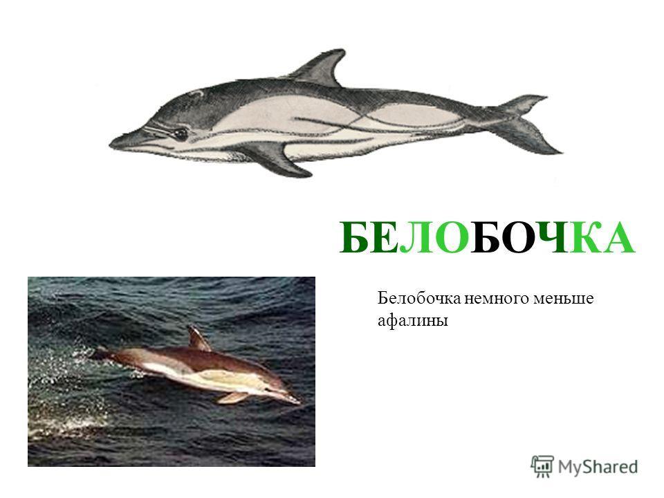 АФАЛИНА Самый большой дельфин – афалина. Он выступает в дельфинариях Афалина самый большой дельфин – афалина. Он выступает в дельфинариях