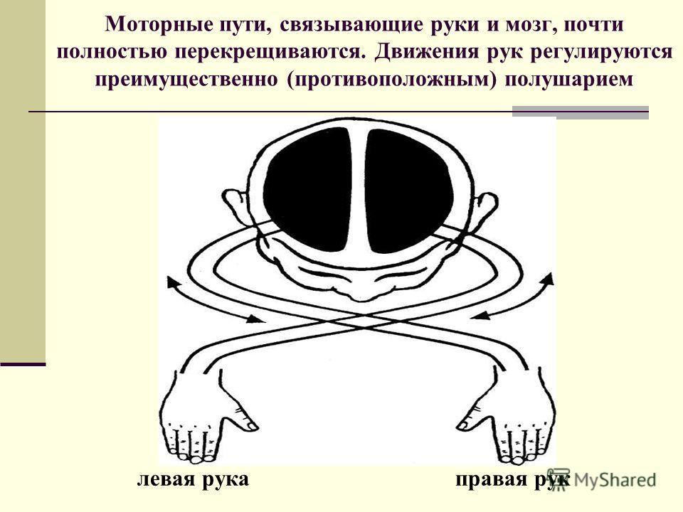 Моторные пути, связывающие руки и мозг, почти полностью перекрещиваются. Движения рук регулируются преимущественно (противоположным) полушарием левая рука правая рук