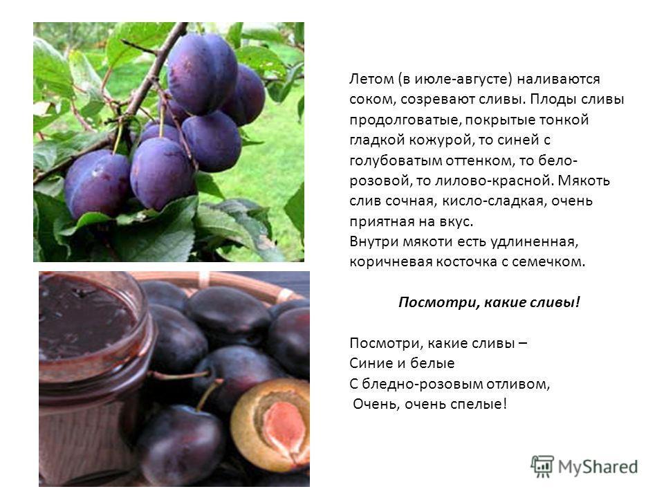 Летом (в июле-августе) наливаются соком, созревают сливы. Плоды сливы продолговатые, покрытые тонкой гладкой кожурой, то синей с голубоватым оттенком, то бело- розовой, то лилово-красной. Мякоть слив сочная, кисло-сладкая, очень приятная на вкус. Вну