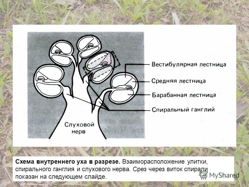 Схема внутреннего уха в