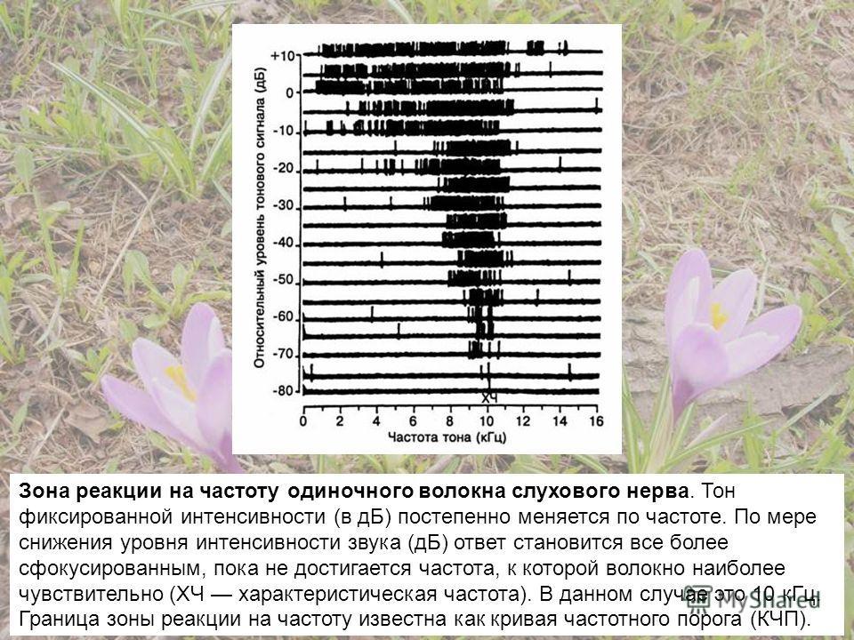 Зона реакции на частоту одиночного волокна слухового нерва. Тон фиксированной интенсивности (в дБ) постепенно меняется по частоте. По мере снижения уровня интенсивности звука (дБ) ответ становится все более сфокусированным, пока не достигается частот