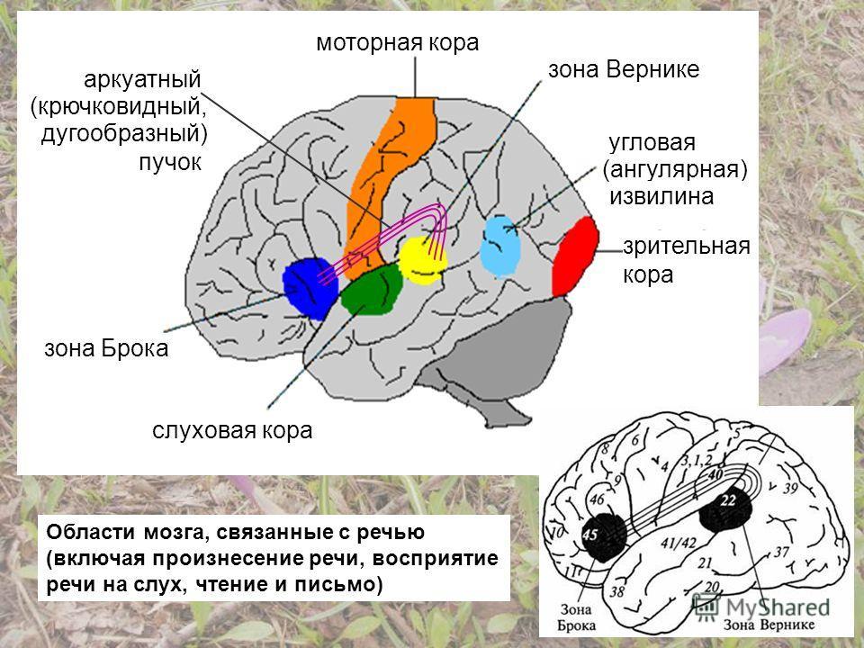 Области мозга, связанные с речью (включая произнесение речи, восприятие речи на слух, чтение и письмо) зона Брока слуховая кора зрительная кора угловая зона Вернике моторная кора (ангулярная) извилина (крючковидный, пучок аркуатный дугообразный)