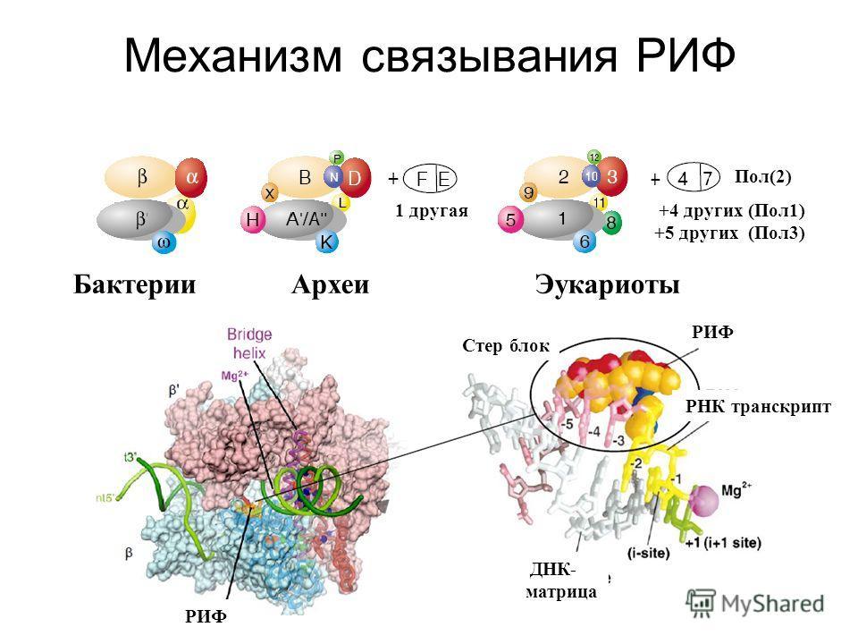 Механизм связывания РИФ Бактерии Археи Эукариоты +4 других (Пол1) +5 других (Пол3) 1 другая Пол(2) Стер блок РНК транскрипт ДНК- матрица РИФ