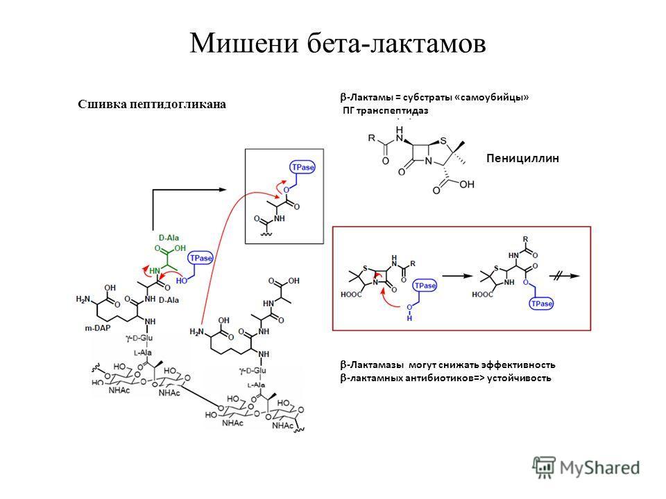 Сшивка пептидогликана -Лактамы = субстраты «самоубийцы» ПГ транспептидаз Пенициллин -Лактамазы могут снижать эффективность -лактамных антибиотиков=> устойчивость Мишени бета-лактамов