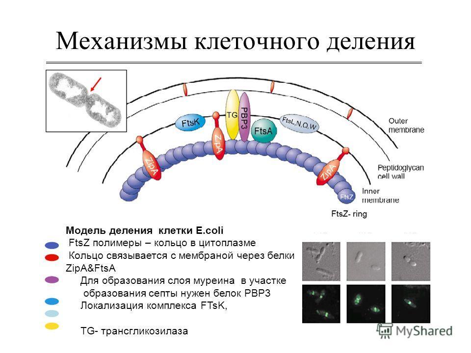 Механизмы клеточного деления Модель деления клетки E.coli FtsZ полимеры – кольцо в цитоплазме Кольцо связывается с мембраной через белки ZipA&FtsA Для образования слоя муреина в участке образования септы нужен белок РВР3 Локализация комплекса FTsK, T