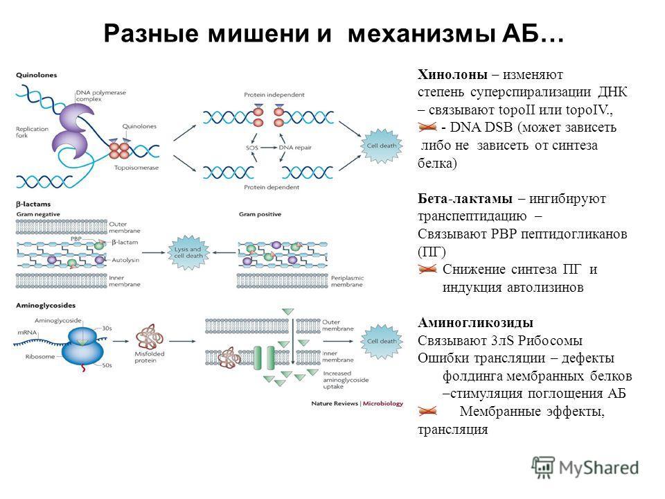 Разные мишени и механизмы АБ… Хинолоны – изменяют cтепень суперспирализации ДНК – связывают topoII или topoIV., - DNA DSB (может зависеть либо не зависеть от синтеза белка) Бета-лактамы – ингибируют транспептидацию – Связывают PBP пептидогликанов (ПГ