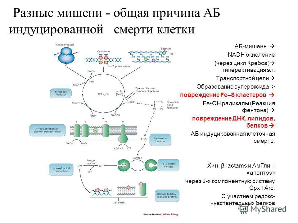 АБ-мишень NADH окисление (через цикл Кребса) гиперактивация эл. Транспортной цепи Образование супероксида -> повреждение Fe–S кластеров FeOH радикалы (Реакция фентона) повреждение ДНК, липидов, белков АБ индуцированная клеточная смерть. Хин, β-lactam