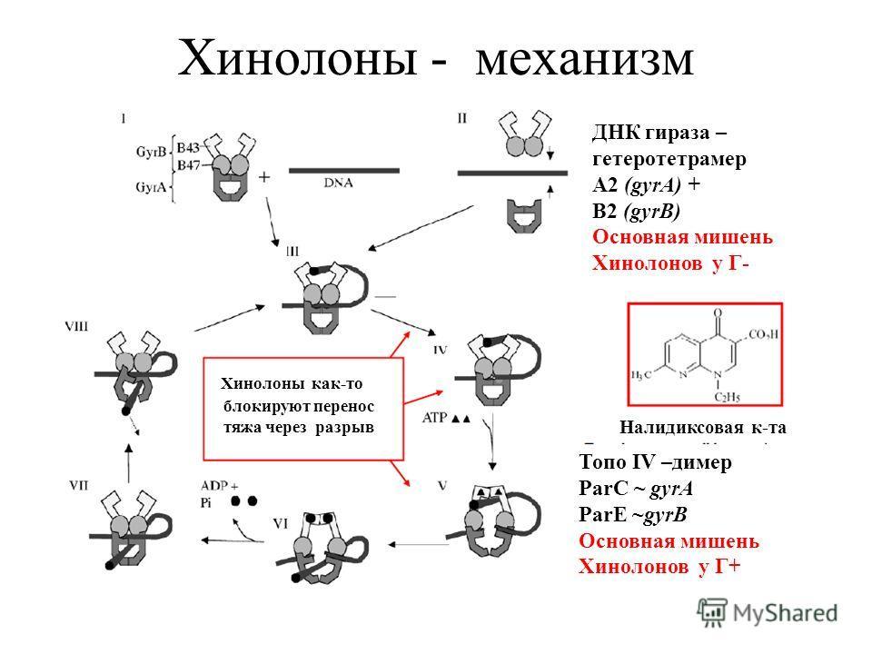ДНК гираза – гетеротетрамер A2 (gyrA) + B2 (gyrB) Основная мишень Хинолонов у Г- Топо IV –димер ParC ~ gyrA ParE ~gyrB Основная мишень Хинолонов у Г+