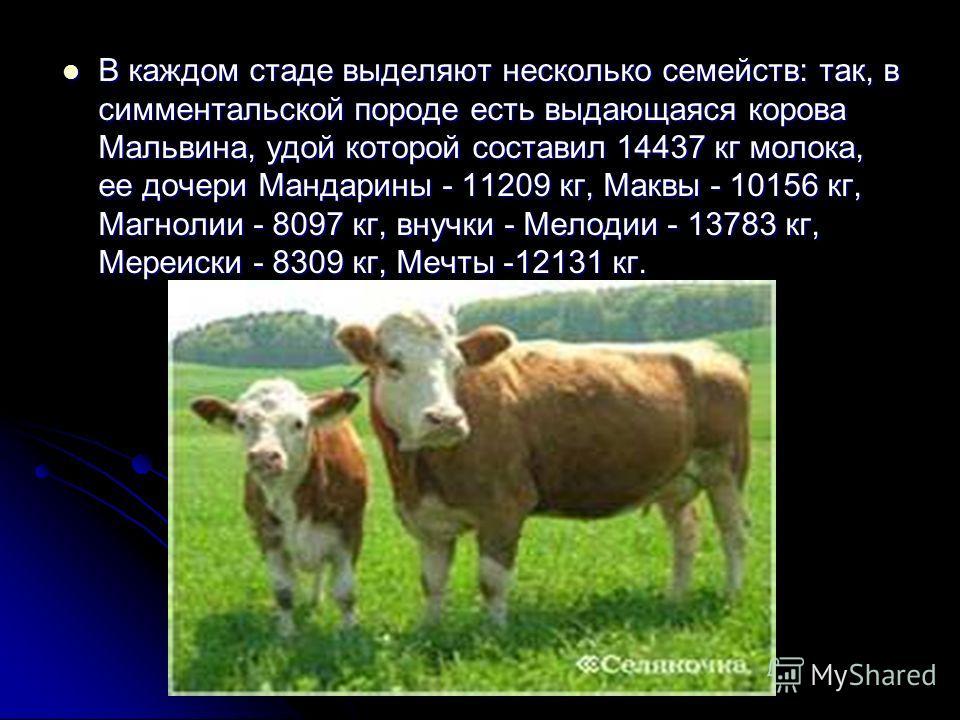 В каждом стаде выделяют несколько семейств: так, в симментальской породе есть выдающаяся корова Мальвина, удой которой составил 14437 кг молока, ее дочери Мандарины - 11209 кг, Маквы - 10156 кг, Магнолии - 8097 кг, внучки - Мелодии - 13783 кг, Мереис