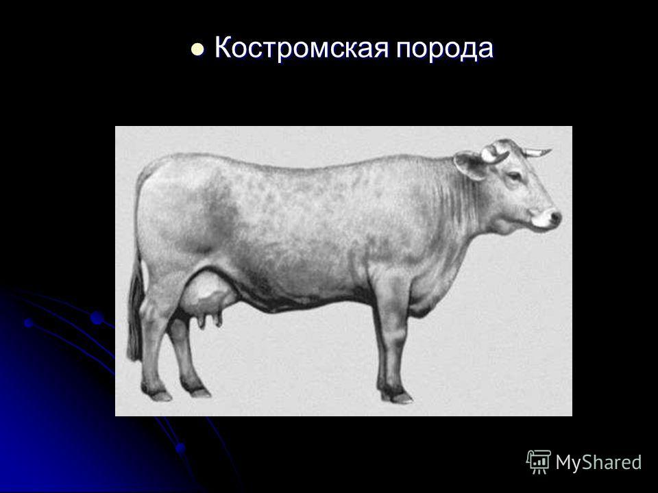 Костромская порода Костромская порода