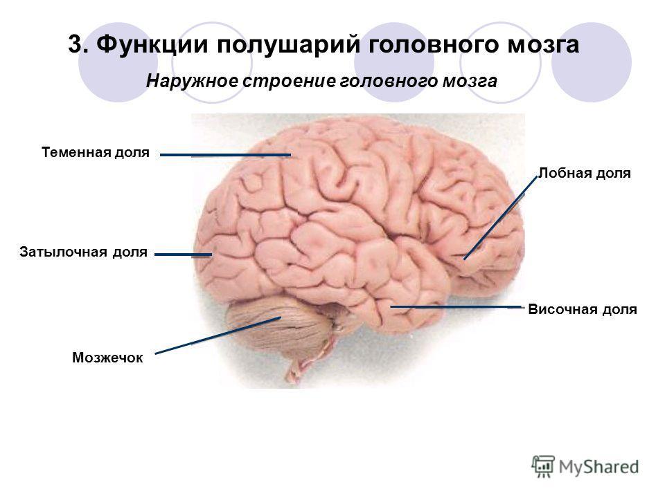 Теменная доля Затылочная доля Лобная доля Височная доля Мозжечок Наружное строение головного мозга 3. Функции полушарий головного мозга