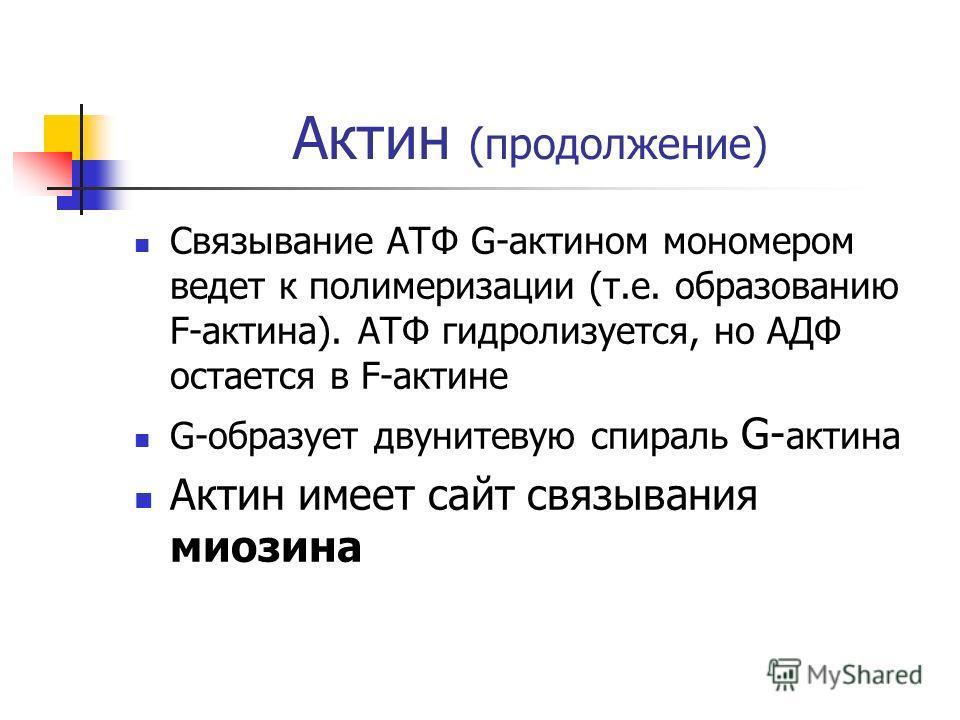 Актин (продолжение) Связывание АТФ G-актином мономером ведет к полимеризации (т.e. образованию F-актина). АТФ гидролизуется, но АДФ остается в F-актине G-образует двунитевую спираль G- актина Актин имеет сайт связывания миозина