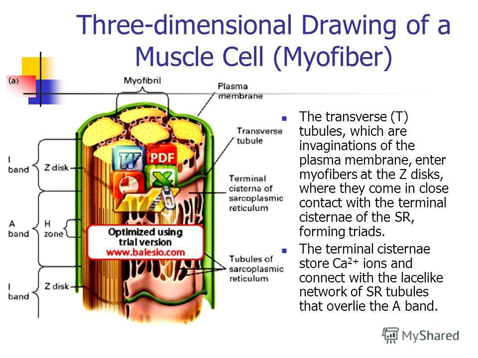Three-dimensional Drawing of a Muscle Cell (Myofiber) The transverse (T) tubules, which are invaginations of the plasma membrane, enter myofibers at the Z disks, where they come in close contact with the terminal cisternae of the SR, forming triads.