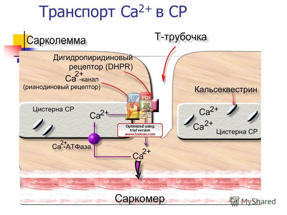 Транспорт Ca 2+ в СР