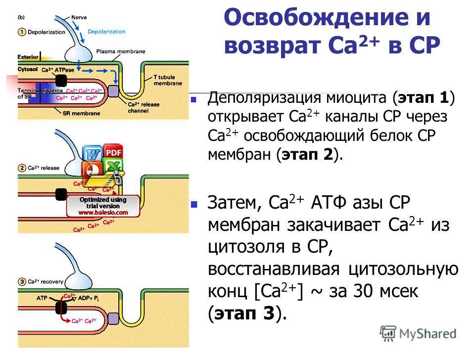 Освобождение и возврат Ca 2+ в СР Деполяризация миоцита (этап 1) открывает Ca 2+ каналы СР через Ca 2+ освобождающий белок СР мембран (этап 2). Затем, Ca 2+ ATФ азы СР мембран закачивает Ca 2+ из цитозоля в СР, восстанавливая цитозольную конц [Ca 2+