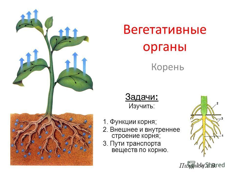 Вегетативные органы Корень Задачи: Изучить: 1. Функции корня; 2. Внешнее и внутреннее строение корня; 3. Пути транспорта веществ по корню. Пименов А.В.
