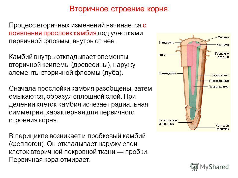 Процесс вторичных изменений начинается с появления прослоек камбия под участками первичной флоэмы, внутрь от нее. Камбий внутрь откладывает элементы вторичной ксилемы (древесины), наружу элементы вторичной флоэмы (луба). Сначала прослойки камбия разо
