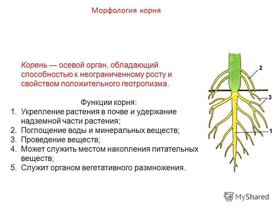 Корень осевой орган, обладающий способностью к неограниченному росту и свойством положительного геотропизма. Функции корня: 1.Укрепление растения в почве и удержание надземной части растения; 2.Поглощение воды и минеральных веществ; 3.Проведение веще