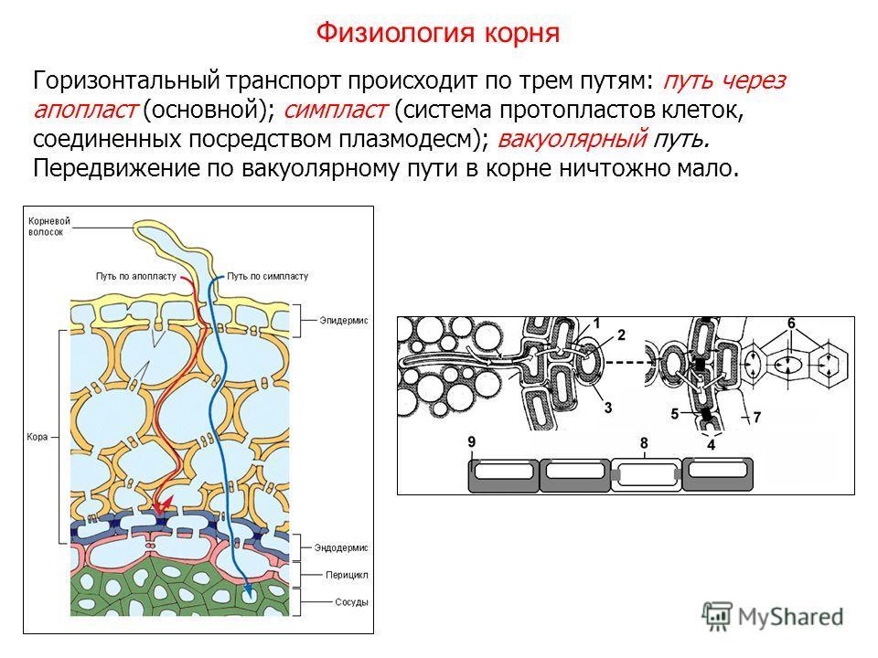 Горизонтальный транспорт происходит по трем путям: путь через апопласт (основной); симпласт (система протопластов клеток, соединенных посредством плазмодесм); вакуолярный путь. Передвижение по вакуолярному пути в корне ничтожно мало. Физиология корня