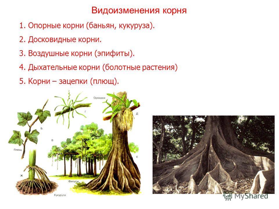 1. Опорные корни (баньян, кукуруза). 2. Досковидные корни. 3. Воздушные корни (эпифиты). 4. Дыхательные корни (болотные растения) 5. Корни – зацепки (плющ). Видоизменения корня