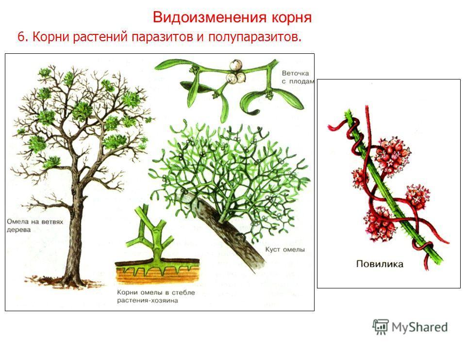 6. Корни растений паразитов и полупаразитов. Видоизменения корня