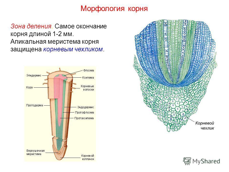 Зона деления. Самое окончание корня длиной 1-2 мм. Апикальная меристема корня защищена корневым чехликом. Морфология корня